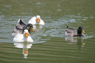white-duck-in-the-lead