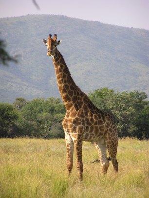 Giraffe_standing.jpg